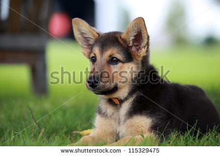 stock-photo-german-shepherd-puppy-relaxing-on-a-warm-summer-day-115329475